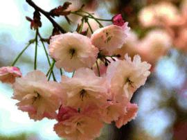 赏花不必去日本 樱花花期首次全国播报春节从化开锣