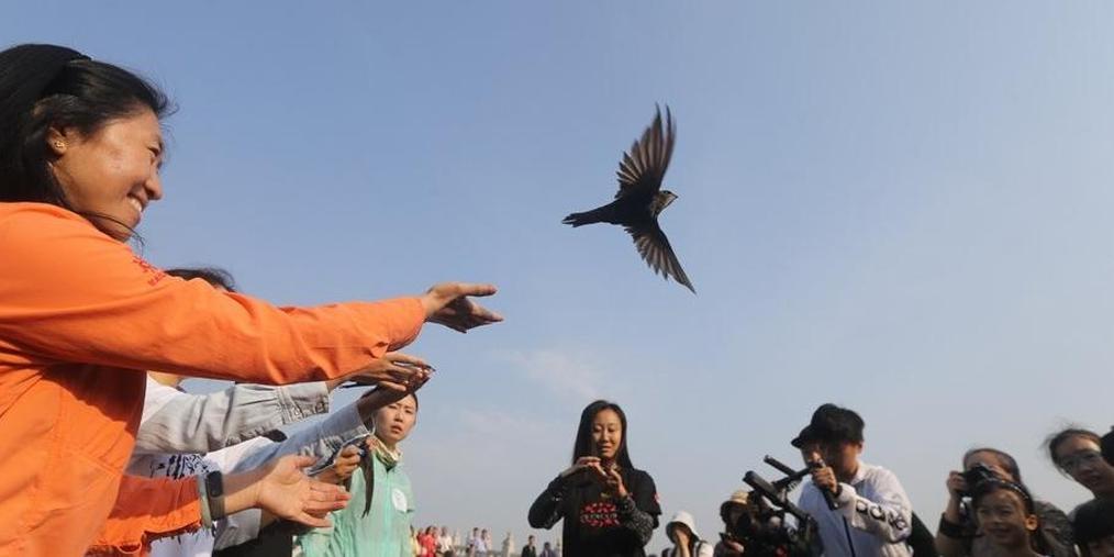 135只北京雨燕在颐和园体检