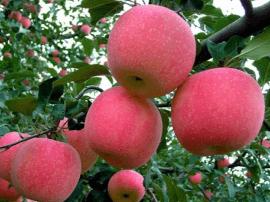 山西运城果业追求技术领先、标准领先、效益领先