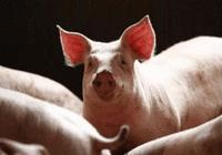 日本或允许在动物体内培育人体器官 用于器官移
