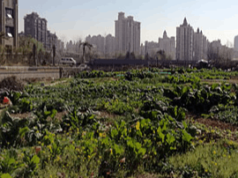 南昌岭口路空地被种蔬菜 曝光后发现菜地依旧