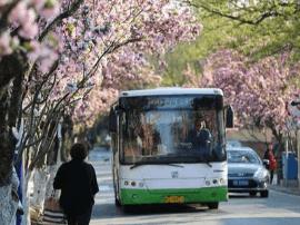 青岛增开赏花公交 市民周末出游可这样坐