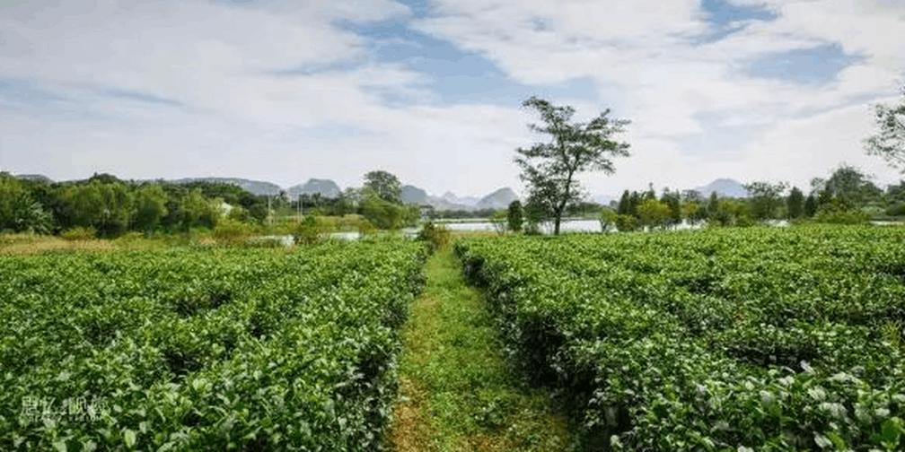 茶文化主题旅游攻略——红茶高端养生之旅