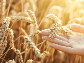 科学家成功克隆与解析小麦太谷核不育基因