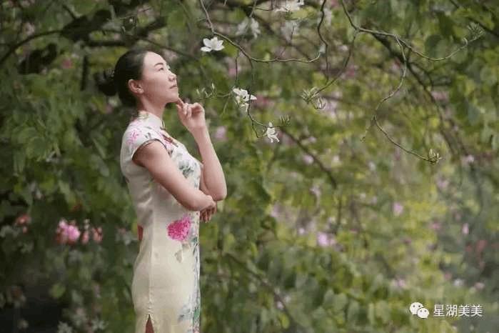 肇庆惊现宫粉紫荆花海, 据说伊人与美景更配