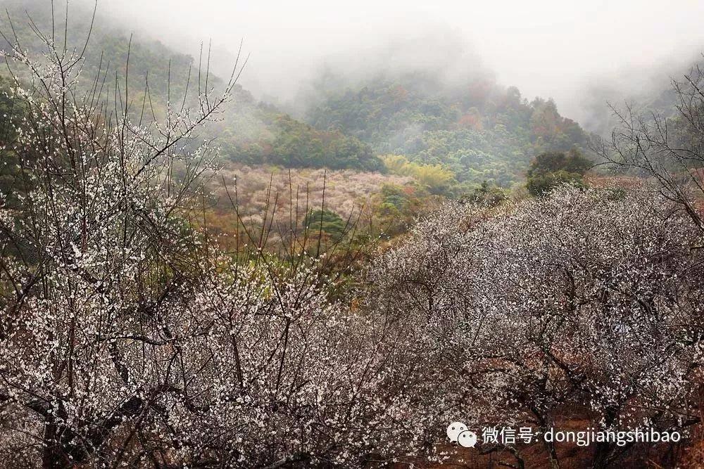 @惠州人,今年梅花比往年更盛,一大波美图袭来!