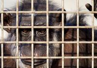 美国政府重新思考如何退役科研黑猩猩