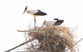 国家一级保护动物东方白鹳种群在唐山筑巢繁殖啦
