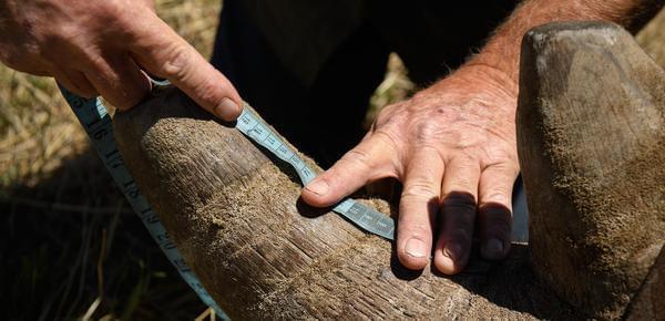 为防偷猎 南非犀牛农场收割犀牛角