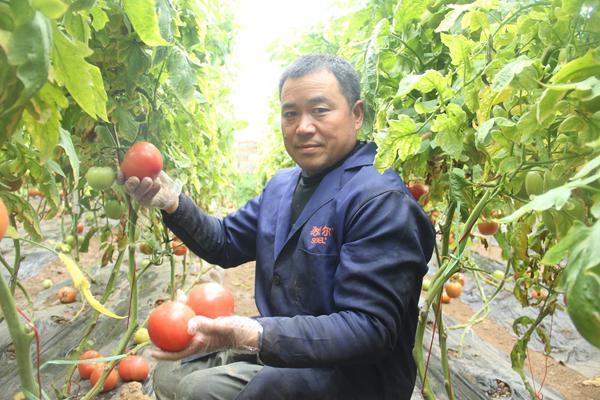 西红柿价格下跌找不到买主 种菜农叫苦不迭