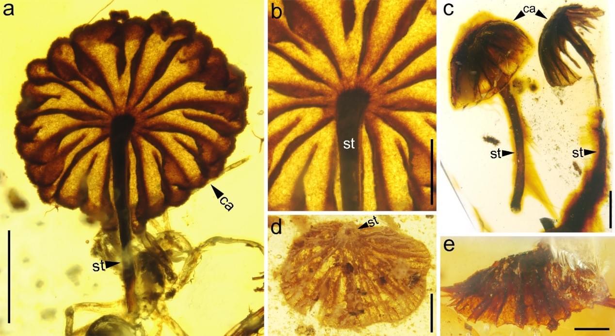 白垩纪 谁在享用蘑菇大餐?最古老蘑菇化石被发现