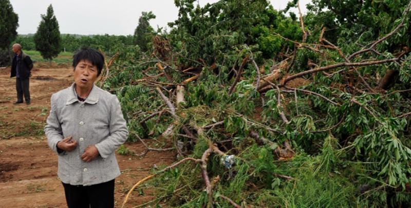 灞桥区席王街道办未达成赔偿协议 强挖87棵樱桃树