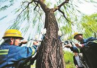 为治理飞絮,北京今年将再替换50万株杨树