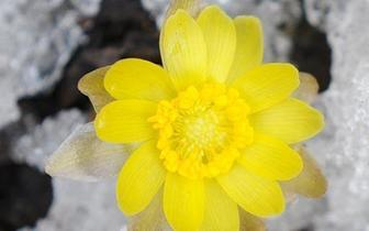 冰凌花破冰绽放迎春到!