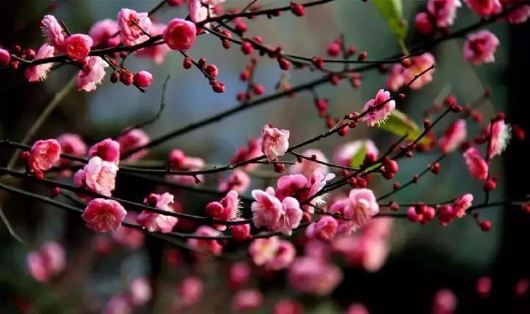 """红梅正在盛开中 重庆已成""""花花世界"""""""
