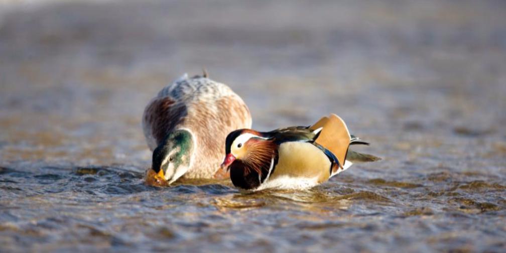 鸳鸯与绿头鸭在库尔勒市孔雀河相偎越冬
