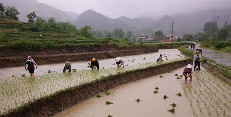 巴山里农民大雨中插秧 抱团作业抢农时
