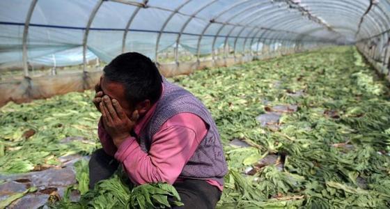 云南蔬菜滞销 上千吨蔬菜被砍掉