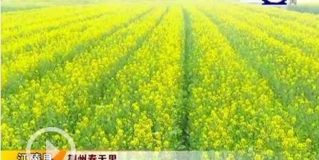 三月春光无限好 江陵马家寨乡万亩油菜花一夜盛开