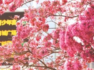 满树繁花一城芬芳 花海成景惹人爱