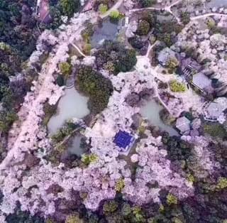 最美无锡樱花