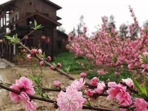 花漾春天 玉环的县花你可曾领略过她的美