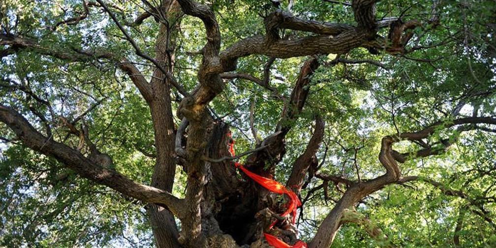 走遍永济:虞乡行之探访古橡树之谜