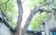 雷雨过后树木开裂 居民担心压塌屋顶