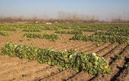 百亩白菜烂地里几分钱一斤