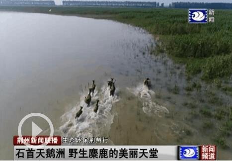生态环保荆州行:石首天鹅洲 野生麋鹿的美丽天堂
