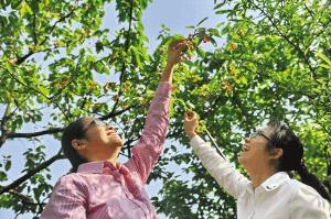 选个好天气 快去摘樱桃