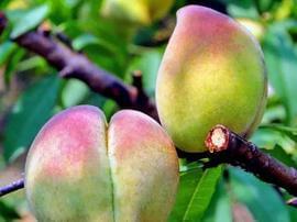 传说中的鹰嘴桃!错过这一波 今年就没桃子吃了!