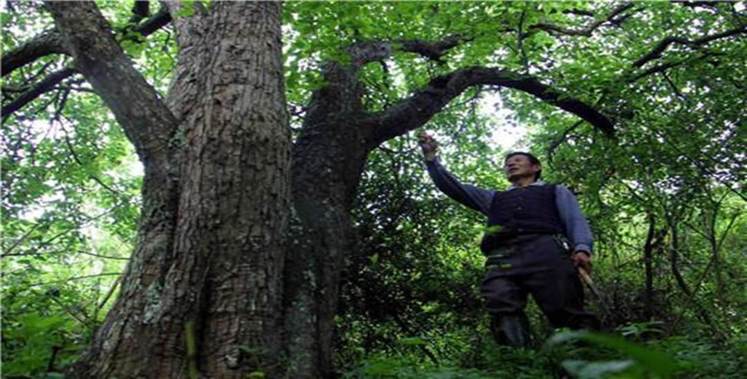 大足惊现百年梨树王 一年最多能摘2500公斤梨