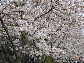 中山公园现神奇樱花大道 南北景色大不同