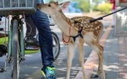 男子街头遛鹿:让它看世界