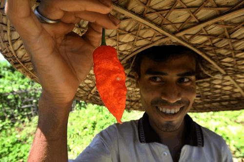 神奇的印度 用世界最辣辣椒制作新型手榴弹