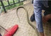 够猛!重庆高校寝室跑来一条蛇 学生把它剥皮炖了