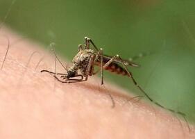 蚊虫咬不咬你?这或许由基因说了算