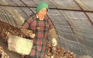 头茬香菇大丰收 投放市场供不应求