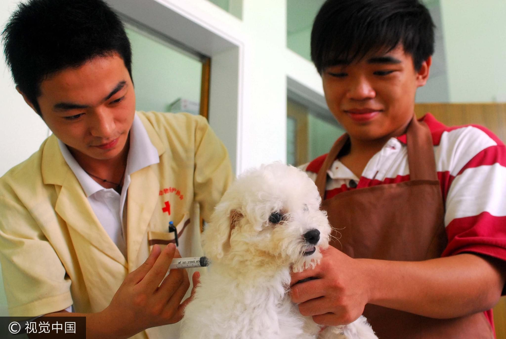 2008年7月11日,海南省小动物保护协会宠物医院,医生在给一只宠物狗注射狂犬病疫苗/视觉中国