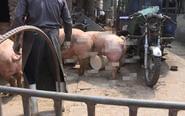 园林农科场内一养猪场脏乱差 被强制搬离