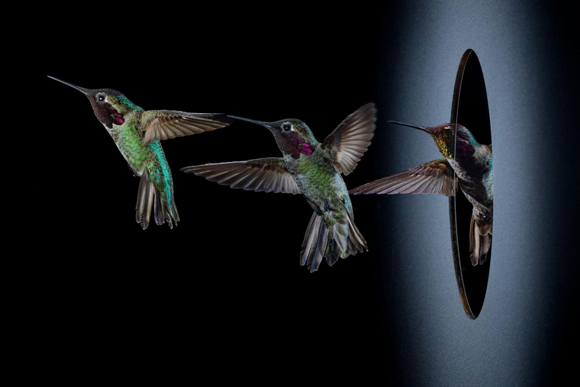 宅男汗颜!蜂鸟手速可达100次/秒 构造堪称奇迹