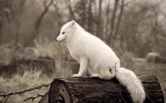 佛教故事:【放生那只狐】