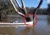 暖心!河水暴涨 澳学生划独木舟救下被困考拉