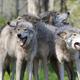 狼会像狗一样忠于主人吗?