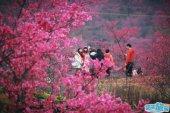 韶关这片800多亩的樱花已开满园,美绝半个广东!
