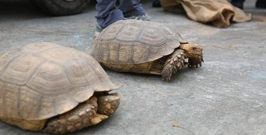 广东海警在深查获涉嫌非法走私珍贵动物苏卡达龟