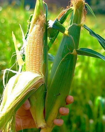 若中美玉米同时绝收 非洲南亚最遭殃?