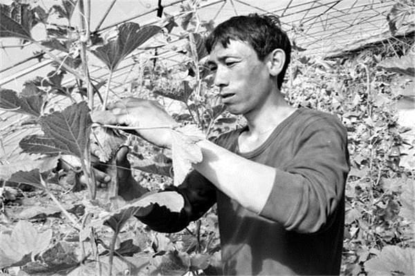 河曲县创新种植模式