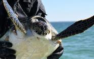 寒潮后救助冻僵海龟